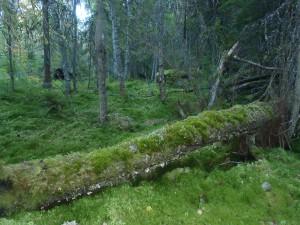 Sumpskog vid Hultåsa Foto: Kenneth Rosén