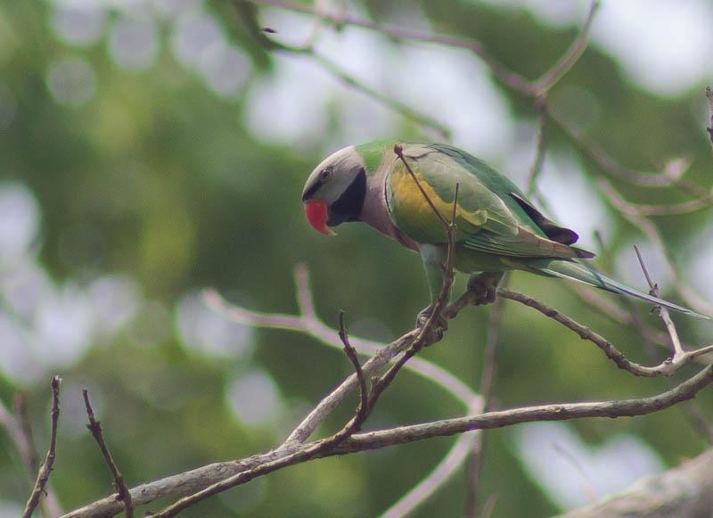 redbreasted-parakeet-1189a4dfc35c2df878f109a7ba2fe920e5ed42da